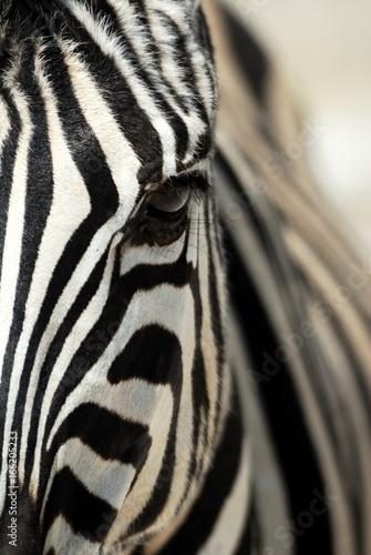 Fototapeta Zebra close-up in the Etosha National Park, Namibia obraz na płótnie