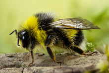 Focus Stacking - Bumblebee, Du...