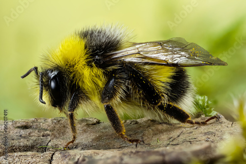 Photo Focus Stacking - Bumblebee, Dumbledor, Dumbledore, Bombus