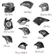 Portraits Of Different Wildlife Bird Heads: Vulture, Eagle, Falcon, Owl, Shrike, Crow, Fieldfare, Hawfinch, Muscicapa, Bullfinch, Crossbill, Vintage Engraving.