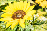 yellow sunflower background close-up macro. Spring summer border template floral background. greeting and celebration card.