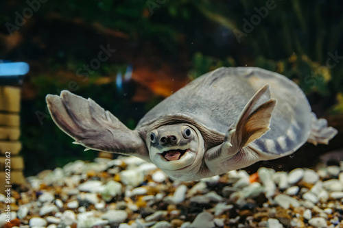 Poster Tortue Carettochelys insculpta. The merry turtle swims under the water. Funny animals.