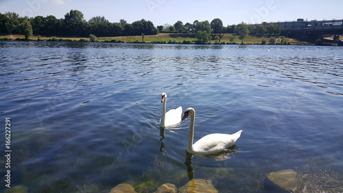 White swans in Donau river Canvas Print