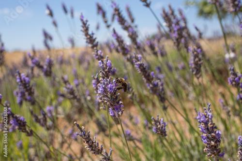 Foto op Plexiglas Lavendel Lavande avec abeille gros plan