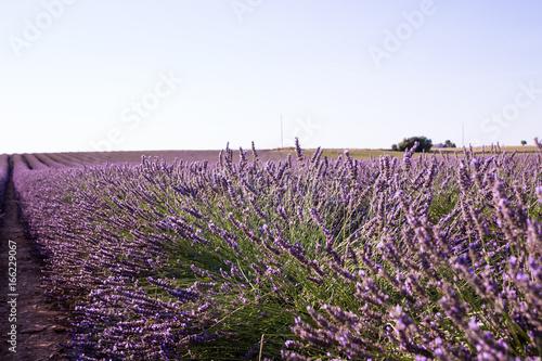 Fotobehang Lavendel Lavande avec abeille gros plan