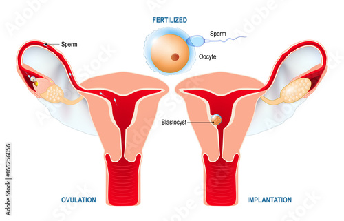 Fényképezés  Ovulation, fertilization, implantation of blastocyst in the uterine wall