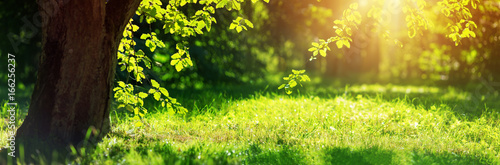 old oak tree foliage in morning light with sunlight - 166256237