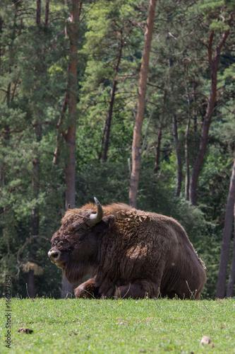 Staande foto Buffel Bison d'Europe