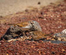 It Is Egg Hatching Day At The Killdeer Nest And The Adult Killdeer Are Busy With The Eggs And The New Chicks