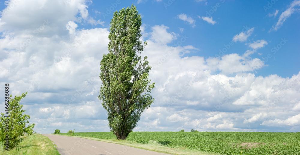 Solitary black poplar near of a rural road