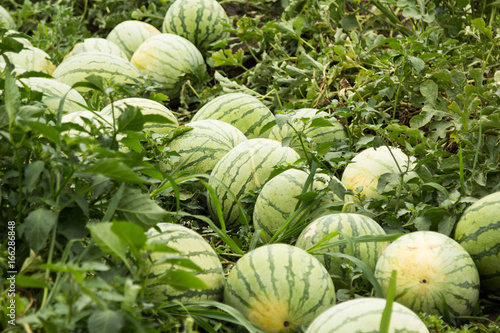 Collect ripe watermelons on the farm.