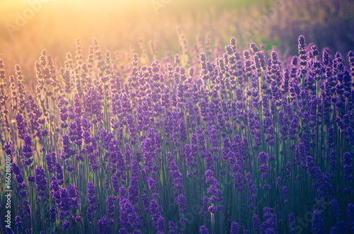 Lavender flowers, blooming in sunlight #166288086