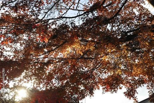 赤く色づいた紅葉 © MOMOTAROU