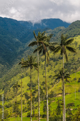 Photo Stands South America Country Wax palm trees of Cocora Valley, Colombia