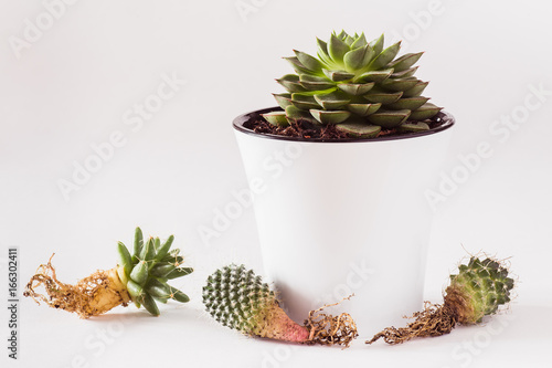 Fotobehang Bonsai cactus with bare roots near the succulent in a pot on a white background