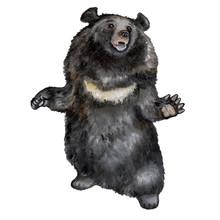 Asian Black Bear. Himalayan Bear. Illustration. Watercolor