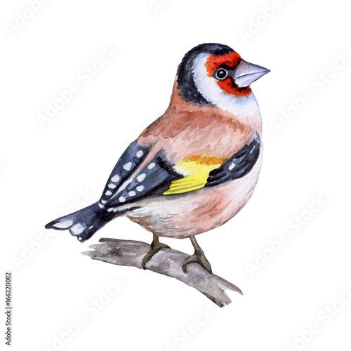 szczygiel-malowany-recznie-ptak-akwarela