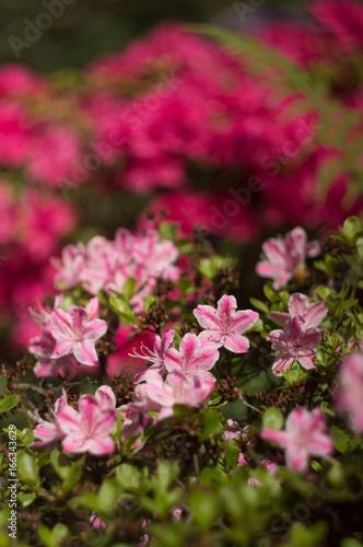 Tuinposter Azalea kwiaty w ogrodzie z tłem bokeh