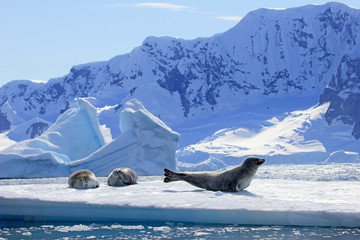 Crabeater tuljani na ledenoj plohi, Antarktički poluotok, Antarktika