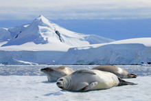 Crabeater Seals On Ice Floe, A...