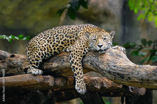 Photo Jaguar lying on a branch.