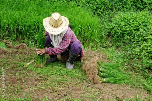 Photo Thai farmer with straw hat working in paddy field with ears of rice, beautiful g