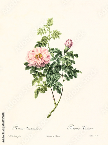 Obraz Old illustration of Rosa ventenatiana. Created by P. R. Redoute, published on Les Roses, Imp. Firmin Didot, Paris, 1817-24 - fototapety do salonu