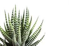 Haworthia Fasciata Cactus Or Mah Lai Isolated On White Background