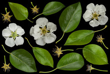 Pear Blossom Flower Collection