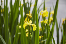 Yellow (Flag Iris)