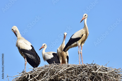 Naklejki Bocian  four-young-storks-in-nest-day-before-first-flight