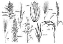 Grain, Collection, Illustratio...