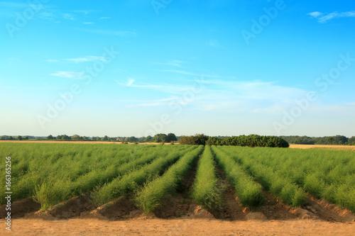 Fotografie, Obraz  Piękna plantacja szparagów.