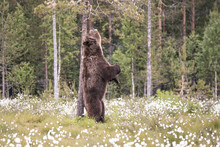Brown Bear Scratching Back On ...