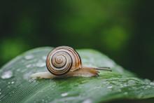 Snail On A Flower's Leaf