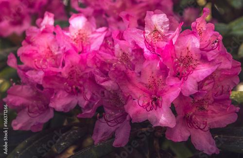 Plakat Naturalny widok kolorowy jaskrawy różowy azalii kwiecenie w ogródzie pod naturalnym światłem słonecznym przy pogodnym lata lub wiosny dniem. Zamyka w górę jaskrawej różowej azalii kwitnie tło w ranek naturze