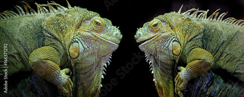 Green iguana (Iguana iguana) isolated on a black background