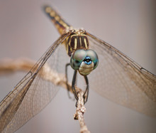 Female Blue Dasher Dragonfly Close Up Perched On A Twig.