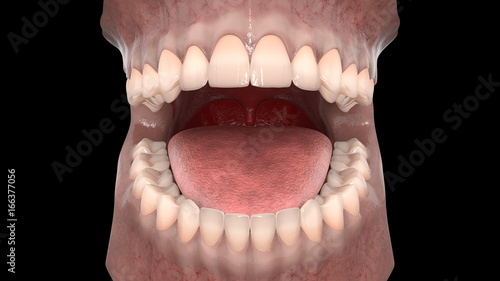 Dental anatomy - Maxillary and mandibular arch with gum structure ...
