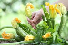 Hand Picking Zucchini Flowers ...