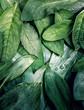 Leinwanddruck Bild Leaves leaf texture green organic background macro layout closeup toned