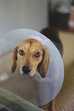 A Beautiful Dog Is Sad And Upset Because She Has To Wear Elizabethan Collar
