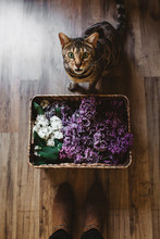 Bengal And Lilacs