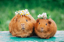 Two Little Sweaty Guinea Pigs With Flowers