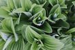 Close up Green False Hellebore (Veratrum viride)