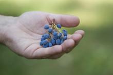 Mahonia Berries (Oregon Grape)
