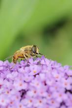 Bee On Buddleja Flower