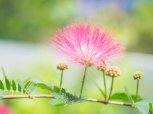 Closeup Mimosa Albizia Julibrissin Flowers In The Garden Background
