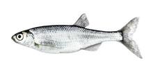 Fish Isolated Bleak (Alburnus)