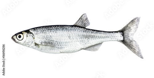 Fish isolated bleak (Alburnus) Canvas Print